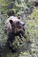 Grizzly bear in Kootenay National Park, Canada
