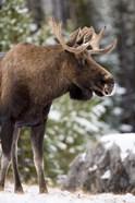Alberta, Jasper National Park Bull Moose wildlife