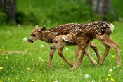 Canada, Alberta, Waterton Lakes NP, Mule deer fawns