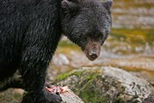 British Columbia, Gribbell Island, Black bear, salmon