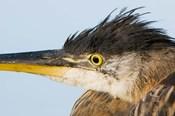 Great blue heron, Boundary Bay, British Columbia