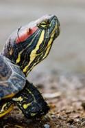 Red-eared pond slider turtle, British Columbia