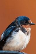 Barn swallow, Great Bear Rainforest, British Columbia, Canada
