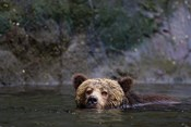 Canada, British Columbia Grizzly bear swimming