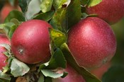Apples, Okanagan Valley, British Columbia, Canada, Na