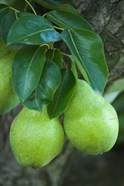 Bartlett Pear, Okanagan Valley, British Columbia, Canada, Na