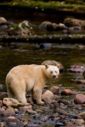 British Columbia, Princess Royal Island, Spirit Bear