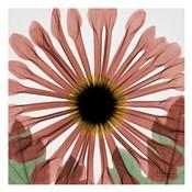 Chrysanthemum Marsala