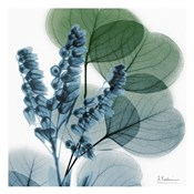 Lilly Of Eucalyptus