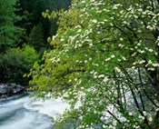 Flowering dogwood tree along the Merced River, Yosemite National Park, California