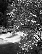 Pacific Dogwood tree, Merced River, Yosemite National Park, California