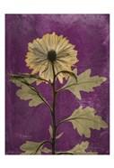 Chrysanthemum Purple II