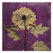 Chrysanthemum Purple III