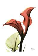 Calla Lily Red