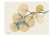 Yellow Eucalyptus