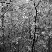 Pine Bramble