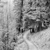 Pine Path