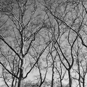 January Branches I
