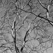 January Branches II