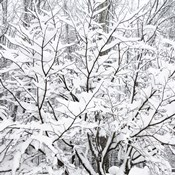 Snow Filled Branches
