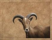 Barbary Ram