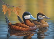 Stiff Tails Ruddy Ducks