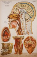 American Frohse Anatomical Wallcharts, Plate 7