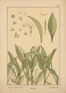 Plate 37 - Lily of the Valley