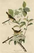 Yellowbreasted Warbler