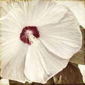 Alabaster Hibiscus