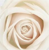 Dawn Rose