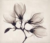 Whisper Magnolia