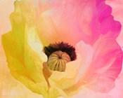 Poppy Gradient II