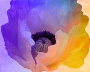 Poppy Gradient III