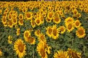 Spain, Andalusia, Cadiz Province Sunflower Fields