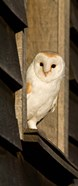 England, Barn Owl looking out from Barn
