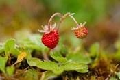 UK, England, Strawberry fruit, garden