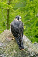 Wildlife, Peregrine Falcon Bird on Rock