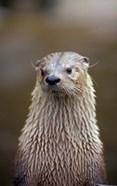 Otter Sanctuary, English Otter, Buckfast, Devon, England