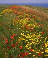 Poppies in Studland Bay, Dorset, England