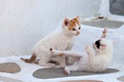 Kittens Playing, Mykonos, Greece