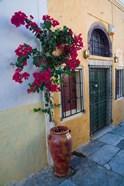 Bougenvillia Vine in Pot, Oia, Santorini, Greece