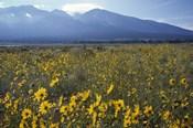 Colorado Mtns Daisies