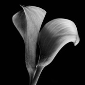 Calla Lilies Black and White