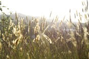 Grimstad Wheat