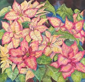 Pink Variegated Poinsettia