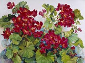 Deep Red Geraniums