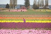 Tulip Farm, Washington