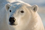 Canada, Manitoba, Hudson Bay, Churchill Polar bear