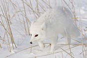 Churchill Arctic Fox